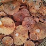 Setas y hongos son protagonistas en los apartamentos en Ezcaray