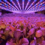 Luces LED que innovan en la agricultura de interior